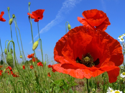 Poppy flowerinfo org
